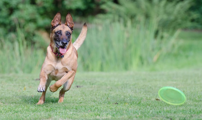 belgian malinois plays frisbee