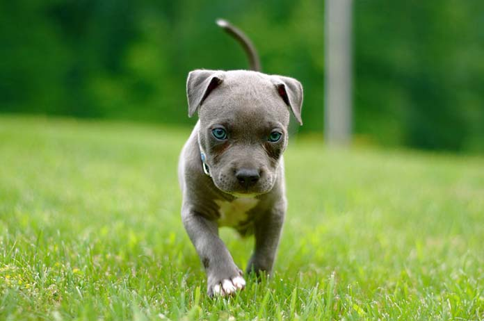 Pitbull Blue Nose NY84 » Regardsdefemmes