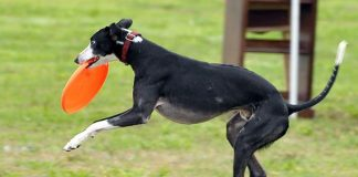 whippet playing frisbee