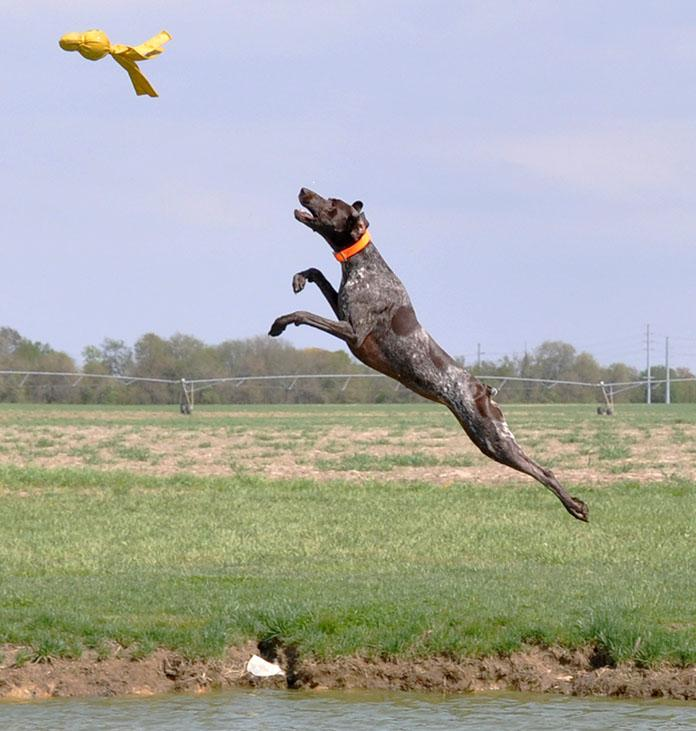 German Shorthaired Pointer midair fetch
