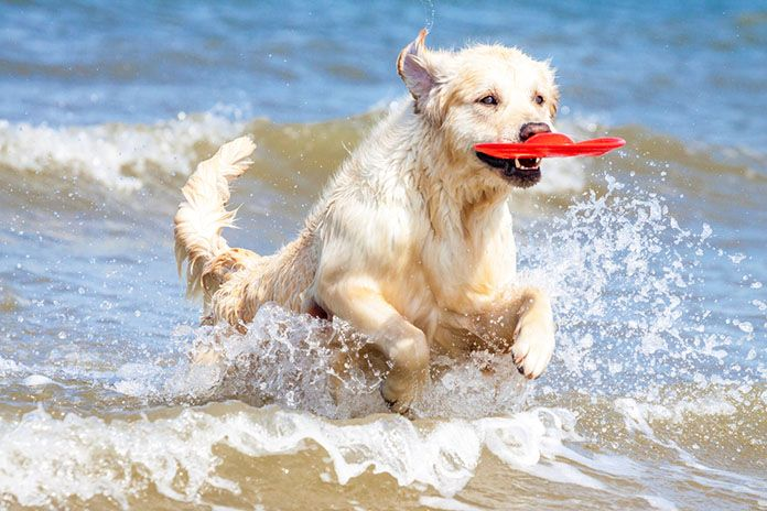 golden retriever beach frisbee