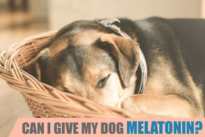 Can I Give My Dog Melatonin Is