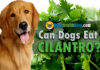 can dogs eat cilantro