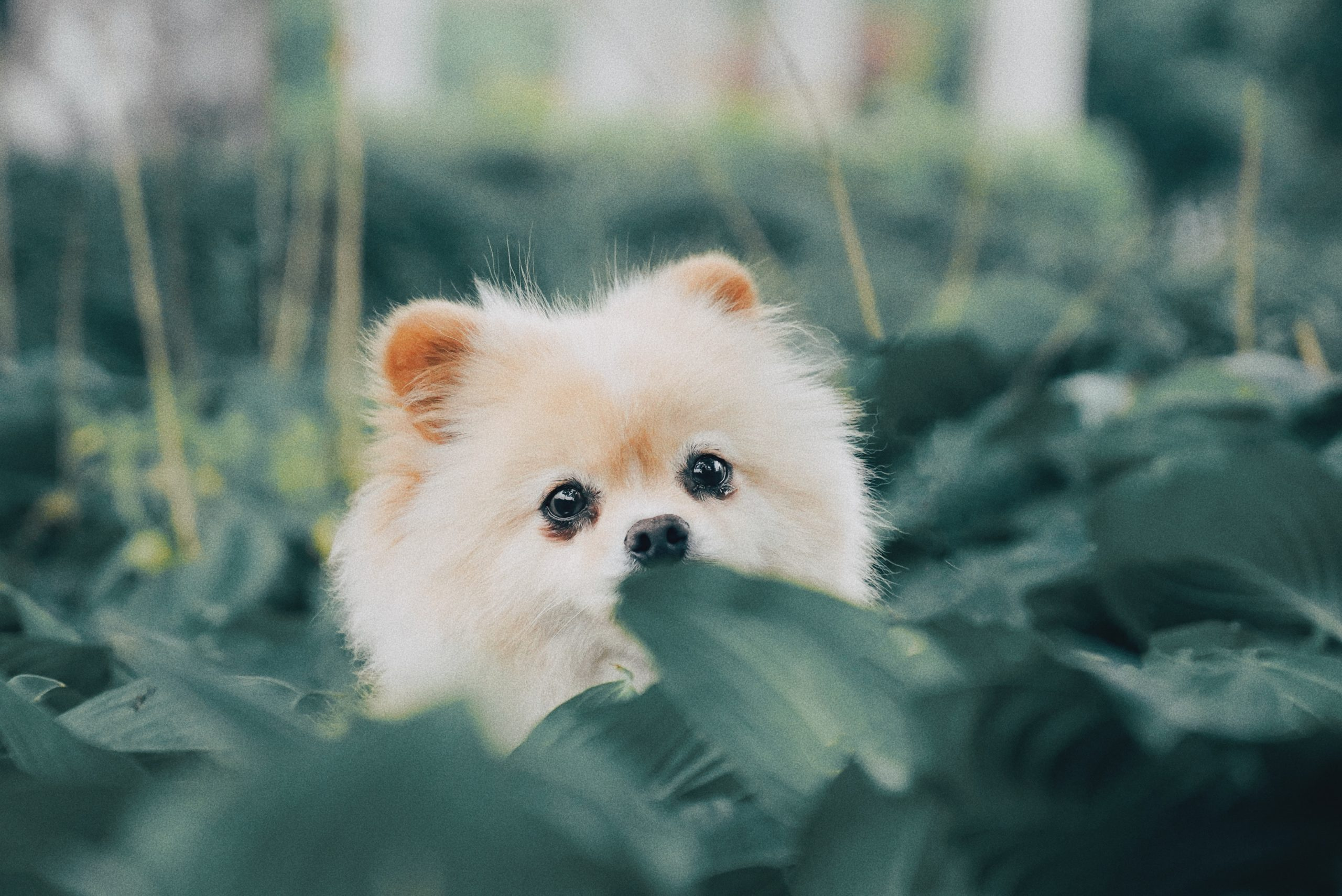 Teacup Pomeranian Facts Every Dog